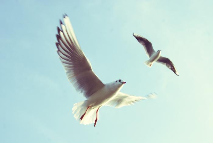 Pareja de gaviotas volando